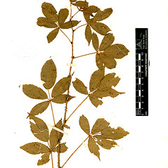 Plant form: Rubus elegantulus. ~ By William and Linda Steere and the C.V. Starr Virtual Herbarium. ~ Copyright © 2019 William and Linda Steere and the C.V. Starr Virtual Herbarium. ~ Barbara Thiers, Director; bthiers[at]nybg.org ~ C.V. Starr Herbarium - NY Botanical Gardens