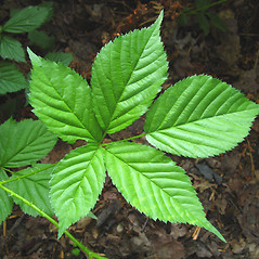 Leaves: Rubus flagellaris. ~ By Donna Kausen. ~ Copyright © 2020 Donna Kausen. ~ 33 Bears Den, Addison, ME 04606
