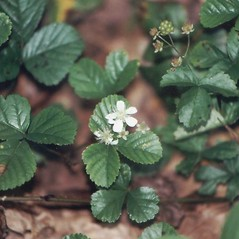 Flowers: Rubus hispidus. ~ By Merel Black. ~ Copyright © 2018 Merel R. Black. ~ Merel R. Black, University of Wisconsin-Stevens Point ~ Robert W. Freckmann Herbarium, U. of Wisconsin-Stevens Point