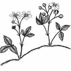 Plant form: Rubus hispidus. ~ By Elizabeth Farnsworth. ~ Copyright © 2018 New England Wild Flower Society. ~ Image Request, images[at]newenglandwild.org