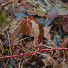 Leaves: Rubus hispidus. ~ By Arthur Haines. ~ Copyright © 2018. ~ arthurhaines[at]wildblue.net