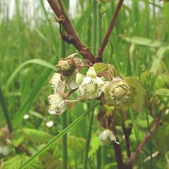 Flowers: Rubus idaeus. ~ By Glen Mittelhauser. ~ Copyright © 2018 Glen Mittelhauser. ~ www.mainenaturalhistory.org