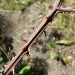 Bark: Rubus laciniatus. ~ By Andrea Moro. ~ Copyright © 2018 CC BY-NC-SA 3.0. ~  ~ luirig.altervista.org/flora/taxa/north-america.php