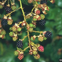 Fruits: Rubus laciniatus. ~ By Steve Dewey. ~ Copyright © 2018 CC BY-NC 3.0. ~  ~ Bugwood - www.bugwood.org/