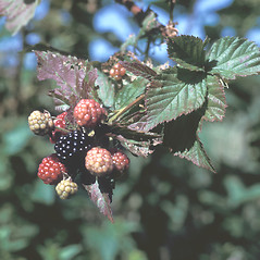 Fruits: Rubus occidentalis. ~ By Frank Bramley. ~ Copyright © 2018 New England Wild Flower Society. ~ Image Request, images[at]newenglandwild.org