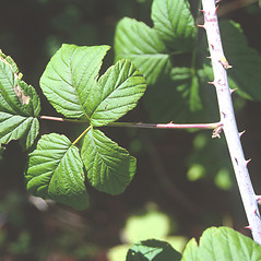 Leaves: Rubus occidentalis. ~ By Roland Boutwell. ~ Copyright © 2020 Roland Boutwell. ~ Requests for image use not currently accepted by copyright holder