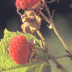 Fruits: Rubus odoratus. ~ By Albert Bussewitz. ~ Copyright © 2019 New England Wild Flower Society. ~ Image Request, images[at]newenglandwild.org