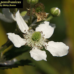 Flowers: Rubus pensilvanicus. ~ By Shirley Denton. ~ Copyright © 2019 Shirley Denton. ~ ecotypes[at]verizon.net ~ Atlas of Florida Vascular Plants - florida.plantatlas.usf.edu/Default.aspx