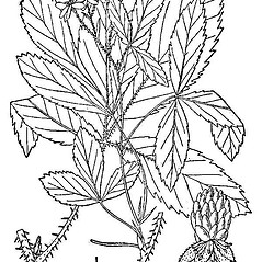 Leaves: Rubus setosus. ~ By Nathaniel Lord Britton. ~  Public Domain. ~  ~ USDA-NRCS Plants Database - plants.usda.gov/java/