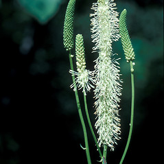 Flowers: Sanguisorba canadensis. ~ By John Lynch. ~ Copyright © 2019 New England Wild Flower Society. ~ Image Request, images[at]newenglandwild.org