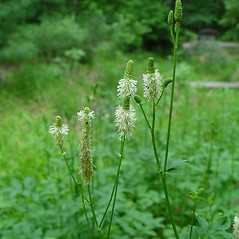 Plant form: Sanguisorba canadensis. ~ By Arthur Haines. ~ Copyright © 2018. ~ arthurhaines[at]wildblue.net