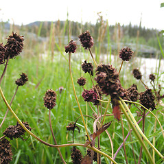 Fruits: Sanguisorba officinalis. ~ By Central Yukon Species Inventory Project. ~ Copyright © 2019 Central Yukon Species Inventory Project. ~ cysip[at]dempstercountry.org ~ Central Yukon Species Inventory Project - www.flora.dempstercountry.org