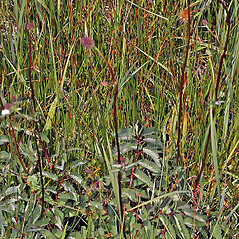 Plant form: Sanguisorba officinalis. ~ By Gerry Carr. ~ Copyright © 2019 Gerry Carr. ~ gdcarr[at]comcast.net ~ Oregon Flora Image Project - www.botany.hawaii.edu/faculty/carr/ofp/ofp_index.htm