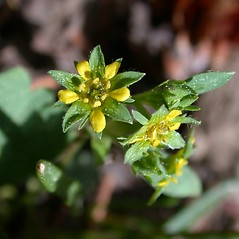 Flowers: Sibbaldia procumbens. ~ By Mary Ellen Harte. ~ Copyright © 2020 CC BY-NC 3.0. ~  ~ Bugwood - www.bugwood.org/