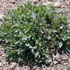 Plant form: Sibbaldia procumbens. ~ By Keir Morse. ~ Copyright © 2018 Keir Morse. ~ www.keiriosity.com ~ www.keiriosity.com