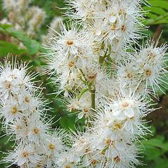Flowers: Sorbaria sorbifolia. ~ By Glen Mittelhauser. ~ Copyright © 2018 Glen Mittelhauser. ~ www.mainenaturalhistory.org
