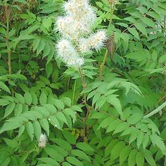 Plant form: Sorbaria sorbifolia. ~ By Glen Mittelhauser. ~ Copyright © 2017 Glen Mittelhauser. ~ www.mainenaturalhistory.org