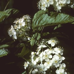 Flowers: Sorbus alnifolia. ~ By Richard A. Howard. ~ Copyright © 2019 Richard A. Howard Image Collection, courtesy of the Smithsonian Institution . ~ For permission and usage agreements: http://botany.si.edu/PlantImages ~ Courtesy of Smithsonian Institution, National Museum of Natural History, Department of Botany, Plant Image Collection; botany.si.edu/PlantImages/