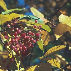 Fruits: Sorbus alnifolia. ~ By Arnold Arboretum. ~ Copyright © 2018 Arnold Arboretum. ~ Arnold Arboretum Horticultural Library, hortlib[at]arnarb.harvard.edu