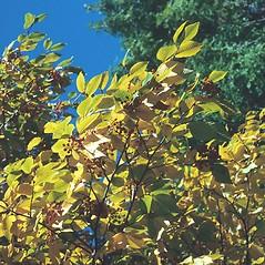 Leaves: Sorbus alnifolia. ~ By Arnold Arboretum. ~ Copyright © 2018 Arnold Arboretum. ~ Arnold Arboretum Horticultural Library, hortlib[at]arnarb.harvard.edu