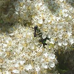 Flowers: Sorbus americana. ~ By Glen Mittelhauser. ~ Copyright © 2019 Glen Mittelhauser. ~ www.mainenaturalhistory.org