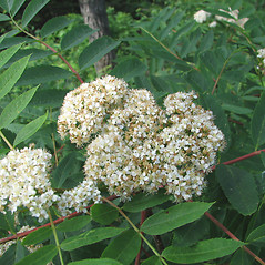 Flowers: Sorbus americana. ~ By Karen Searcy. ~ Copyright © 2018 Karen Searcy. ~ ksearcy[at]bio.umass.edu