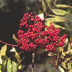 Fruits: Sorbus americana. ~ By John Lynch. ~ Copyright © 2019 New England Wild Flower Society. ~ Image Request, images[at]newenglandwild.org