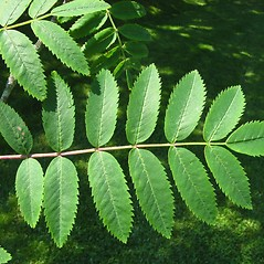 Leaves: Sorbus aucuparia. ~ By Donna Kausen. ~ Copyright © 2019 Donna Kausen. ~ 33 Bears Den, Addison, ME 04606