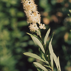 Flowers: Spiraea alba. ~ By Lawrence Newcomb. ~ Copyright © 2019 New England Wild Flower Society. ~ Image Request, images[at]newenglandwild.org