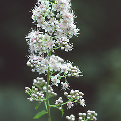 Flowers: Spiraea alba. ~ By Albert Bussewitz. ~ Copyright © 2019 New England Wild Flower Society. ~ Image Request, images[at]newenglandwild.org