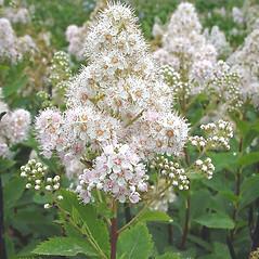Flowers: Spiraea alba. ~ By Glen Mittelhauser. ~ Copyright © 2017 Glen Mittelhauser. ~ www.mainenaturalhistory.org