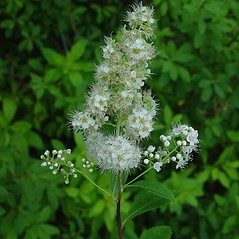 Flowers: Spiraea alba. ~ By Arthur Haines. ~ Copyright © 2020. ~ arthurhaines[at]wildblue.net