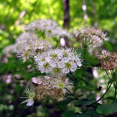 Flowers: Spiraea chamaedryfolia. ~ By Silvano Radivo. ~ Copyright © 2019 Silvano Radivo. ~ Acta Plantarum - www.actaplantarum.org ~ Acta Plantarum -  www.actaplantarum.org