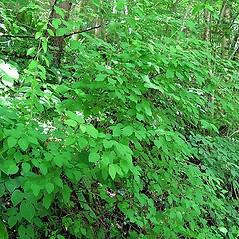 Plant form: Spiraea chamaedryfolia. ~ By Silvano Radivo. ~ Copyright © 2019 Silvano Radivo. ~ Acta Plantarum - www.actaplantarum.org ~ Acta Plantarum -  www.actaplantarum.org