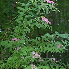 Plant form: Spiraea japonica. ~ By Steven Baskauf. ~ Copyright © 2019 CC-BY-NC-SA. ~  ~ Bioimages - www.cas.vanderbilt.edu/bioimages/frame.htm