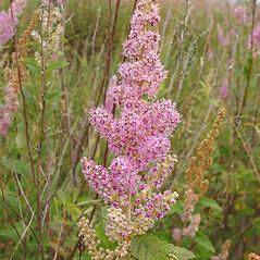 Flowers: Spiraea tomentosa. ~ By Glen Mittelhauser. ~ Copyright © 2018 Glen Mittelhauser. ~ www.mainenaturalhistory.org