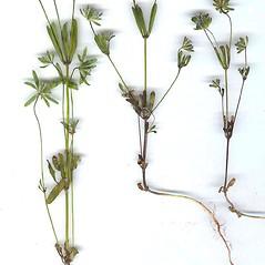 Plant form: Asperula arvensis. ~ By Dr. Nasip Demirkus. ~ Copyright © 2018 Dr. Nasip Demirkus. ~ nasip[at]hotmail.com