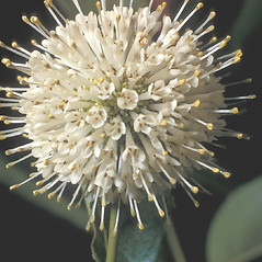 Flowers: Cephalanthus occidentalis. ~ By Frank Bramley. ~ Copyright © 2017 New England Wild Flower Society. ~ Image Request, images[at]newenglandwild.org