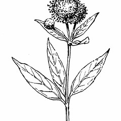 Flowers: Cephalanthus occidentalis. ~ By Gordon Morrison. ~ Copyright © 2019 New England Wild Flower Society. ~ Image Request, images[at]newenglandwild.org