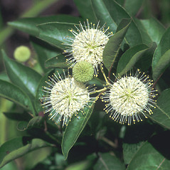 Flowers: Cephalanthus occidentalis. ~ By John Lynch. ~ Copyright © 2017 New England Wild Flower Society. ~ Image Request, images[at]newenglandwild.org