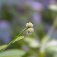 Fruits: Galium aparine. ~ By Arthur Haines. ~ Copyright © 2018. ~ arthurhaines[at]wildblue.net