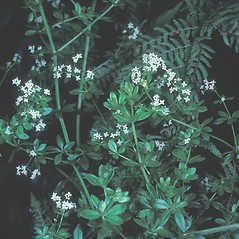 Plant form: Galium asprellum. ~ By Frank Bramley. ~ Copyright © 2017 New England Wild Flower Society. ~ Image Request, images[at]newenglandwild.org