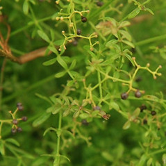 Fruits: Galium brevipes. ~ By Anthony Reznicek. ~ Copyright © 2017 Anthony Reznicek. ~ No permission needed for non-commercial uses, with proper credit ~ U. of Michigan Herbarium - herbarium.lsa.umich.edu/