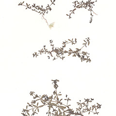 Plant form: Galium brevipes. ~ By CONN Herbarium. ~ Copyright © 2017 CONN Herbarium. ~ Requests for image use not currently accepted by copyright holder ~ U. of Connecticut Herbarium - bgbaseserver.eeb.uconn.edu/