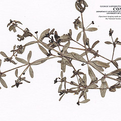 Leaves: Galium brevipes. ~ By CONN Herbarium. ~ Copyright © 2017 CONN Herbarium. ~ Requests for image use not currently accepted by copyright holder ~ U. of Connecticut Herbarium - bgbaseserver.eeb.uconn.edu/