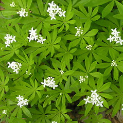 Plant form: Galium odoratum. ~ By Bruce Patterson. ~ Copyright © 2019 Bruce Patterson. ~ foxpatterson[at]comcast.net