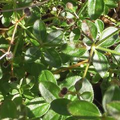 Leaves: Galium pilosum. ~ By Alexey Zinovjev. ~ Copyright © 2019. ~ webmaster[at]salicicola.com ~ Salicicola - www.salicicola.com/