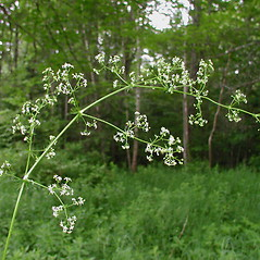 Flowers: Galium sylvaticum. ~ By Donna Kausen. ~ Copyright © 2020 Donna Kausen. ~ 33 Bears Den, Addison, ME 04606