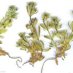 Plant form: Galium tricornutum. ~ By Dr. Nasip Demirkus. ~ Copyright © 2019 Dr. Nasip Demirkus. ~ nasip[at]hotmail.com