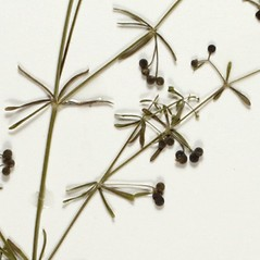 Fruits: Galium trifidum. ~ By Florida State University Godfrey Herbarium. ~ Copyright © 2018 CC BY-NC-SA 3.0. ~  ~ Morphbank - Biological Imaging - www.morphbank.net